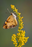 Butterfly on goldenrod Royalty Free Stock Photos