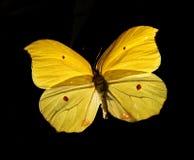 Butterfly Gonepteryx Amintha Stock Image
