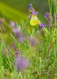 Butterfly Gonepteryx on lavender flower Stock Images