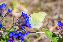 Butterfly Gonepteryx, the plant Pulmonaria dacica Simonk. Day Gonepteryx butterfly Gonepteryx feeds on nectar from the blossom of the softest Lungwort Pulmonaria stock photography