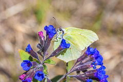 Butterfly Gonepteryx, the plant Pulmonaria dacica Simonk royalty free stock photo