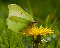 Butterfly Common Brimstone, Gonepteryx rhamni in backlit Royalty Free Stock Image
