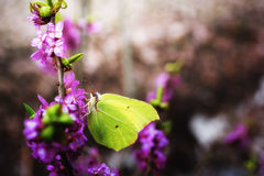 Butterfly Gonepteryx rhamni Royalty Free Stock Images