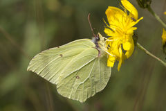 Butterfly (Gonepteryx rhamni) Royalty Free Stock Photography