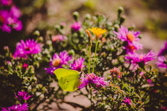 Butterfly - Gonepteryx rhamni (known as the Common Brimstone) on Asters Royalty Free Stock Photo