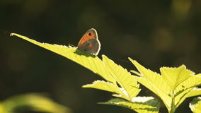 Butterfly on Graan Plants In Sunny Spring Day stock footage