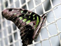 Butterfly (graphium agamemnon) Royalty Free Stock Photography