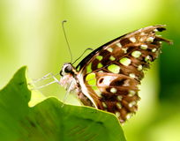 Butterfly Graphium agamemnon Royalty Free Stock Photography