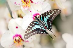 Butterfly Graphium antheus, Large striped swordtail, sitting on white orchid. Beautiful insect from tropic forest in Uganda, Afric Stock Photography