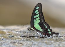 Butterfly (Graphium cloanthus) Royalty Free Stock Photo