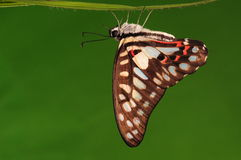 BUTTERFLY/Graphium leechi  Stock Image