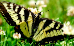 Butterfly in the grass. A closeup of butterfly on the grass Royalty Free Stock Photo