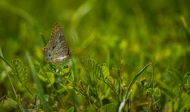 Butterfly in the grass. 1 Stock Images