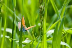 Butterfly on grass blade. Close-up macro, front view of orange butterfly sitting on grass blade. Narrow depth of field Royalty Free Stock Photo