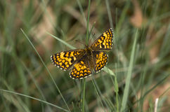 Butterfly6. Butterfly in the grass, butterflies Stock Images