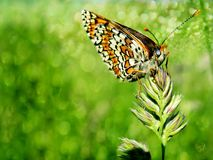 Butterfly on the grass. Colorful butterfly on the grass Royalty Free Stock Image