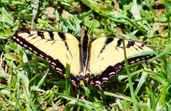 Swallowtail Butterfly in the Grass Stock Images