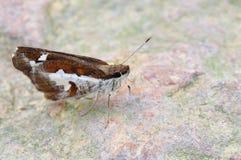 Butterfly(Grass demon,Udaspes folus) Stock Photography