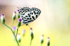 Butterfly on grass flower (Common Pierrot) Royalty Free Stock Photography