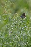 Butterfly in the grass of french alps meadows