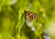 Butterfly on grass Royalty Free Stock Photo