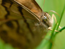 Butterfly on Grass Macro 2 Royalty Free Stock Images
