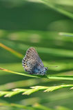 Butterfly on grass. Macro detail of Royal Blue butterfly resting on grass royalty free stock photography