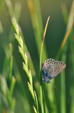 Butterfly on grass. Macro detail of Royal Blue butterfly resting on grass royalty free stock images