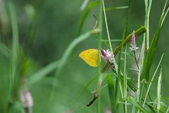 Butterfly on the grass in meadow. Yellow butterfly on green grass royalty free stock images