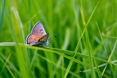 Butterfly on a grass. Orange butterfly with spots walking on a blade of grass royalty free stock image