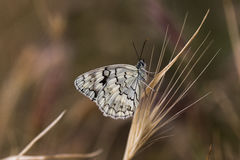 Butterfly on grasses Royalty Free Stock Photo