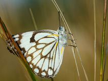 Butterfly on grasses Royalty Free Stock Photography