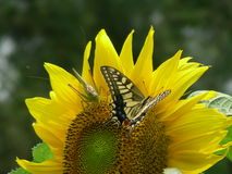 Butterfly Grasshopper Sunflower Royalty Free Stock Photo