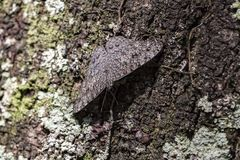 Butterfly Gray and brown camouflaged on tree trunk closeup. Photo of butterfly Gray and brown camouflaged on tree trunk closeup Royalty Free Stock Photo