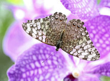 Butterfly Gray cracker (Hamadryas februa) Stock Photos