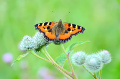Butterfly on Great Burdock plant Royalty Free Stock Photos