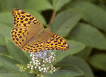 Butterfly great forest (lat. Concern argynnis paphia). Royalty Free Stock Images