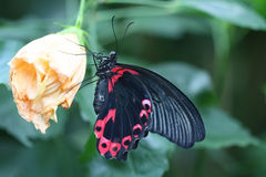 Butterfly - Great Mormon Royalty Free Stock Images