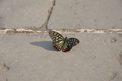 Butterfly on the Great Wall of China. This beauitful butterfly is resting on the Great Wall of China in the middle of summer Stock Images