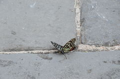 Butterfly on the Great Wall of China. This butterfly is resting on the Great Wall of China Royalty Free Stock Image