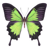Butterfly green Royalty Free Stock Photo