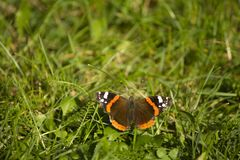 Butterfly on green background. Butterfly Red Admiral on the green grass . stock photos