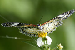 Butterfly on the green background Royalty Free Stock Photography