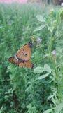 Butterfly. Green butterflies nature love stock photography