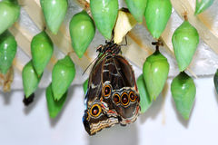 Butterfly and green cocoons Stock Image