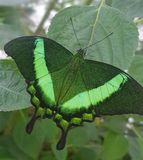 Butterfly in green colors Papilio lowi or Crimson Mormon stock photos