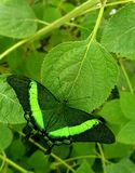 Butterfly in green colors Papilio lowi or Crimson Mormon stock photography