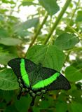 Butterfly in green colors Papilio lowi or Crimson Mormon royalty free stock image