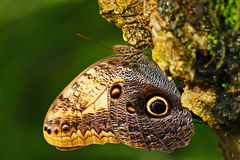 Butterfly in the green forest. Beautiful butterfly Blue Morpho, Morpho peleides, in habitat, with dark forest, green vegetation, C Stock Image