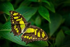 Butterfly in the green forest. Nice insect sitting on the leave. Butterfly from Panama. Nature in tropic forest. Beautiful butterf stock photos